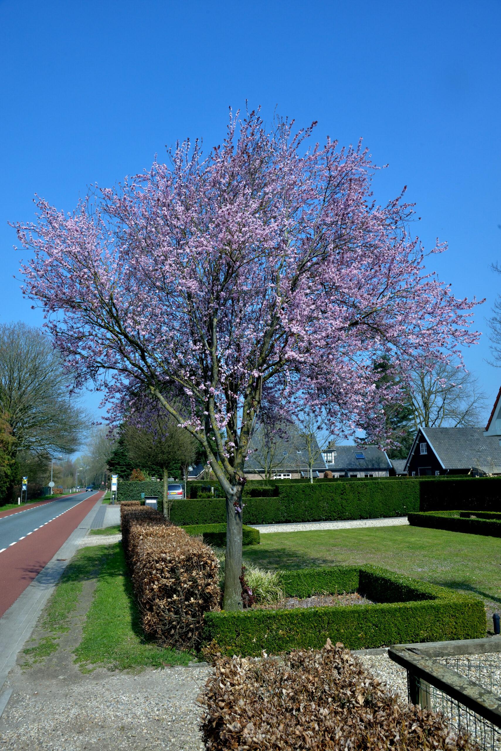 Blodblommetræ i fuld blomstring med flotte lilla blomster