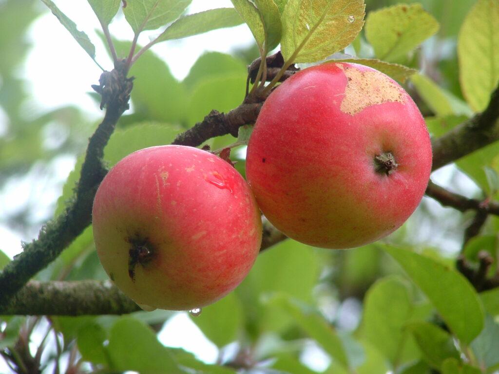 Close-up af to perfekt røde discovery æbler