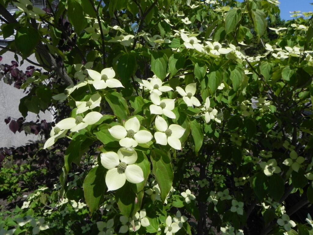 Koreakornel i fuld blomstring