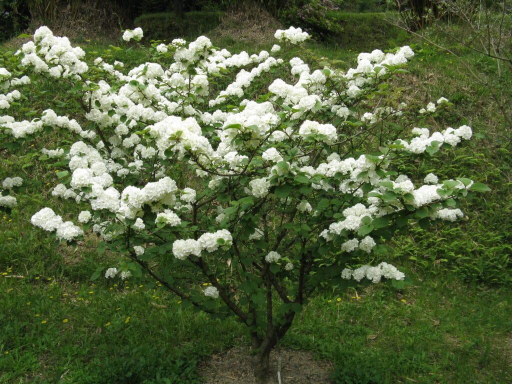 Snebolle med hvide blomster