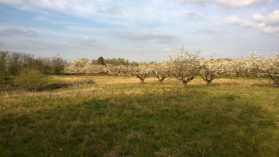 En mark med moreltræer uden kirsebær på træerne