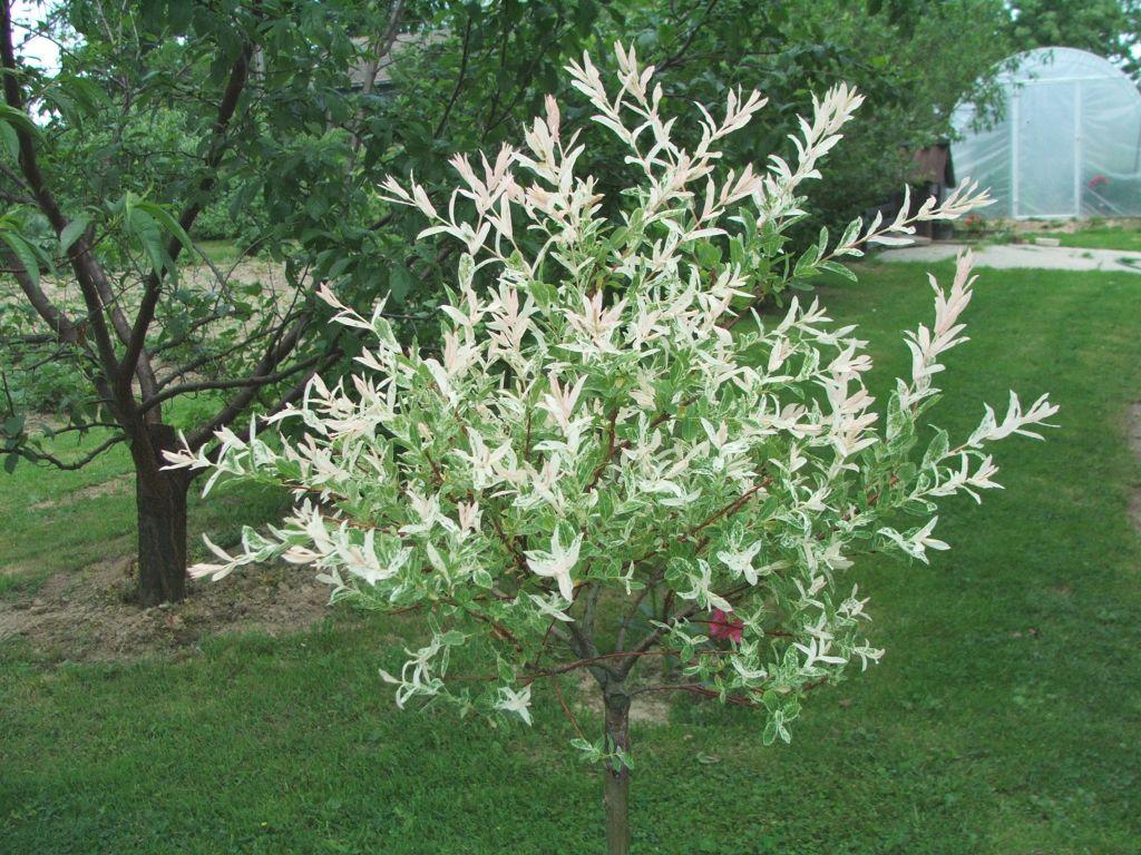 Japansk pil i centrum med hvide blomster