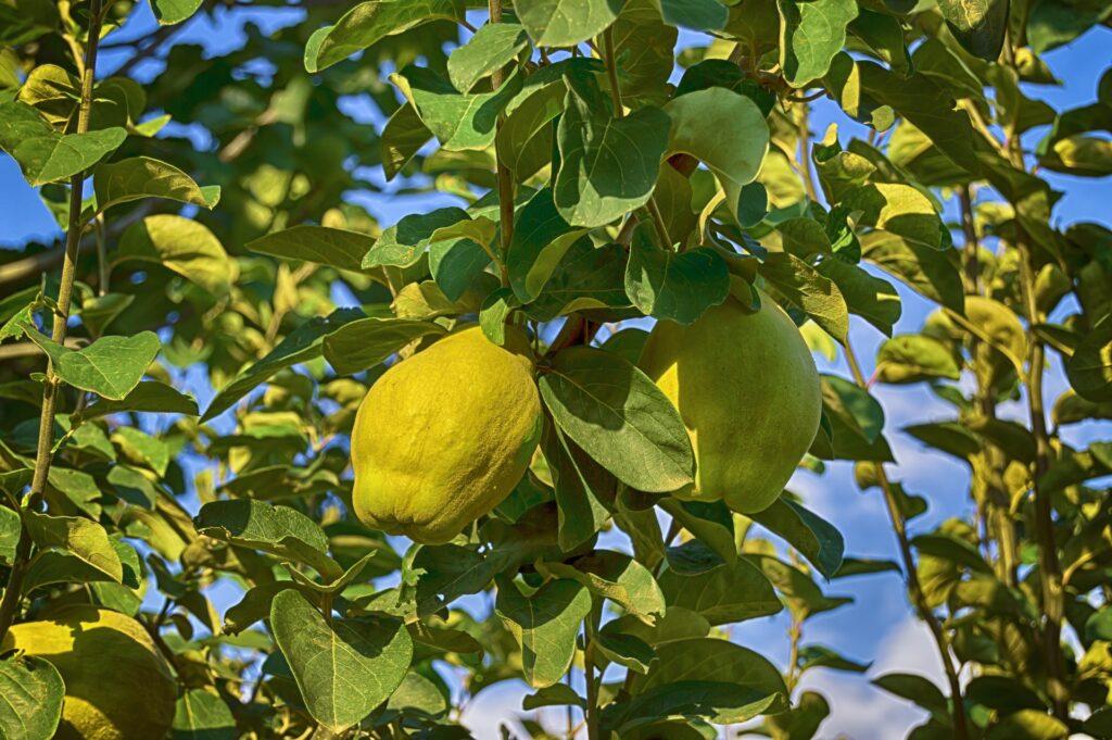 Close-up af en pærekvæde med en masse flere pærekvæder i baggrunden
