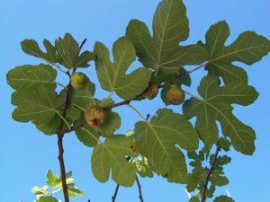 Blå himmel bagved figengrene