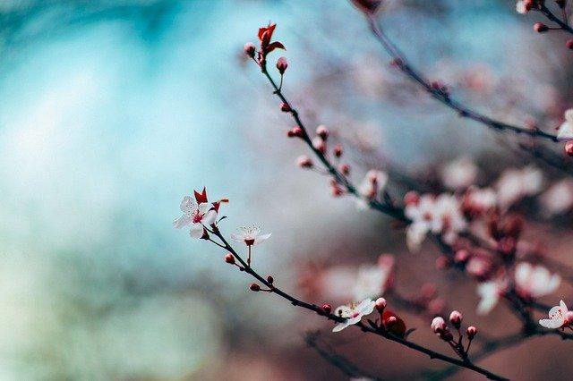 Grene på kirsebærtræ med blomstrende skud