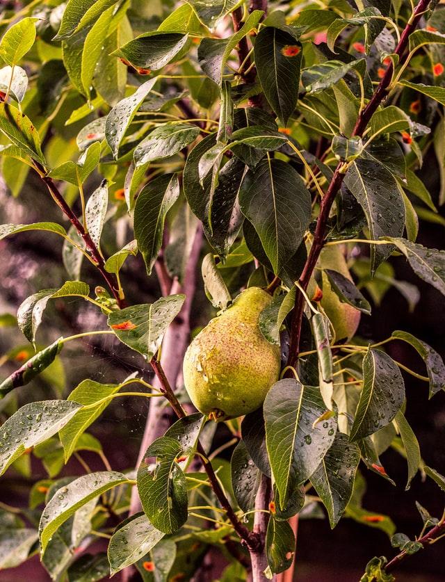 Enkeltstående pære blandt masser af blade og grene