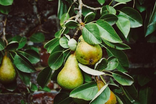 To pærer blandt grønne blade på træet