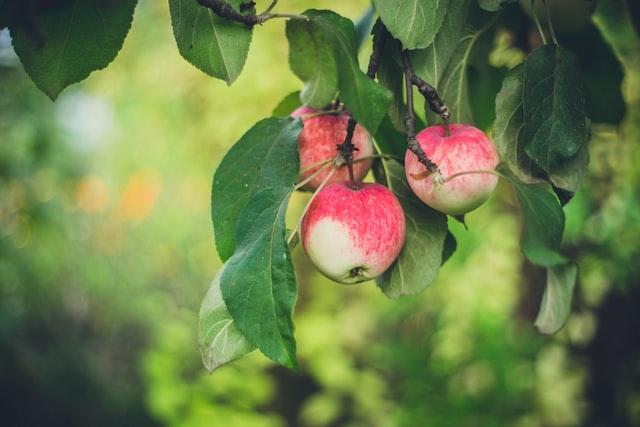 En gren fra et beskåret æbletræ med 3 røde æbler