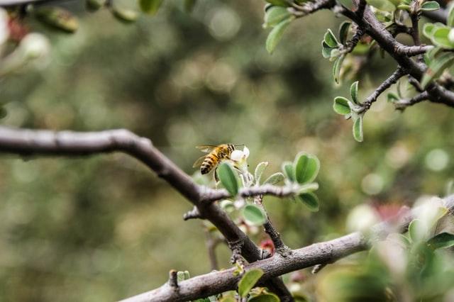 Tom gren fra et æbletræ, hvor der sidder en hveps