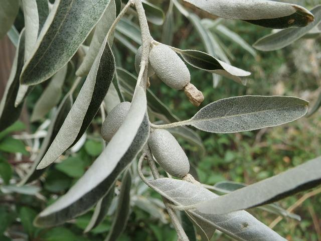 Sølvblad